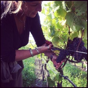 picking pinot noir